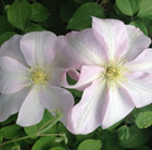Clematis Jeannes Pink