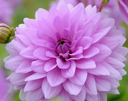 Click to view product details and reviews for Dahlia Aposblue Boyapos Decorative Dahlia Tuber.