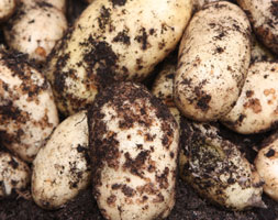 Click to view product details and reviews for Potato Aposinternational Kidneyapos Potato Early Maincrop Scottish Basic Seed Potato.