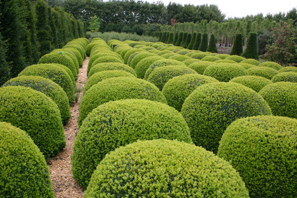 Buy Common Box Ball Buxus Sempervirens Delivery By Crocus