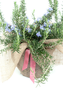 Click to view product details and reviews for Rosemary Prostratus Group Rosemary Rosmarinus Officinalis Prostratus Group.