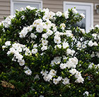 Gardenia Crown Jewel (PBR)