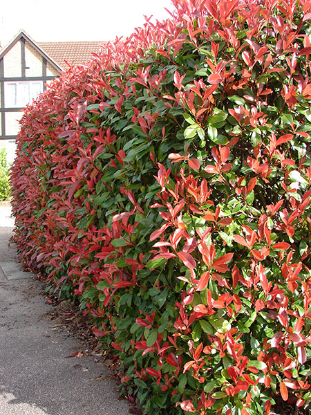 buy photinia photinia fraseri 39 red robin 39 delivery by waitrose garden in association with crocus. Black Bedroom Furniture Sets. Home Design Ideas
