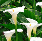 Zantedeschia aethiopica Crowborough