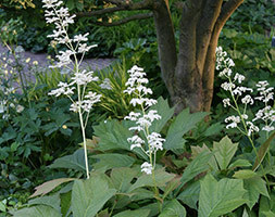 Click to view product details and reviews for Rodgersia Podophylla Rodgersia.