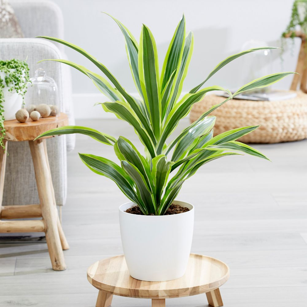 Buy dragon plant dracaena fragrans 39 deremensis group for Plante dracaena
