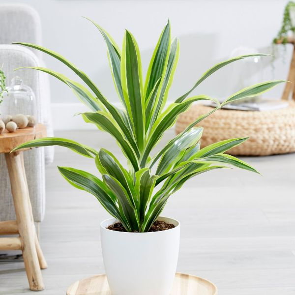 Buy dragon plant Dracaena fragrans '(Deremensis Group) Lemon Lime ...