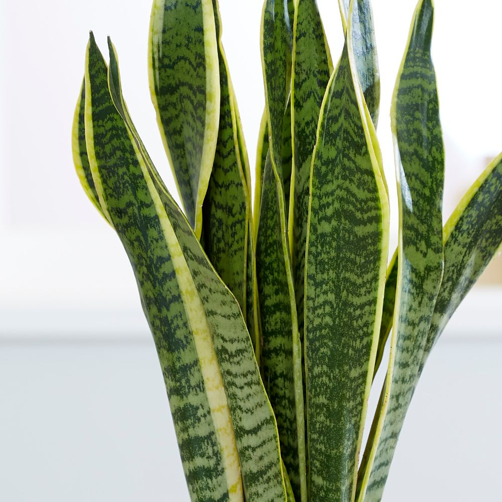 buy mother in law 39 s tongue variegated snake plant sansevieria trifasciata 39 var laurentii. Black Bedroom Furniture Sets. Home Design Ideas