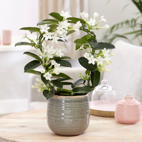 Buy Stephanotis Stephanotis Floribunda Delivery By