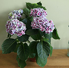 hydrangea with blue flowers
