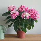 hydrangea with pink flowers