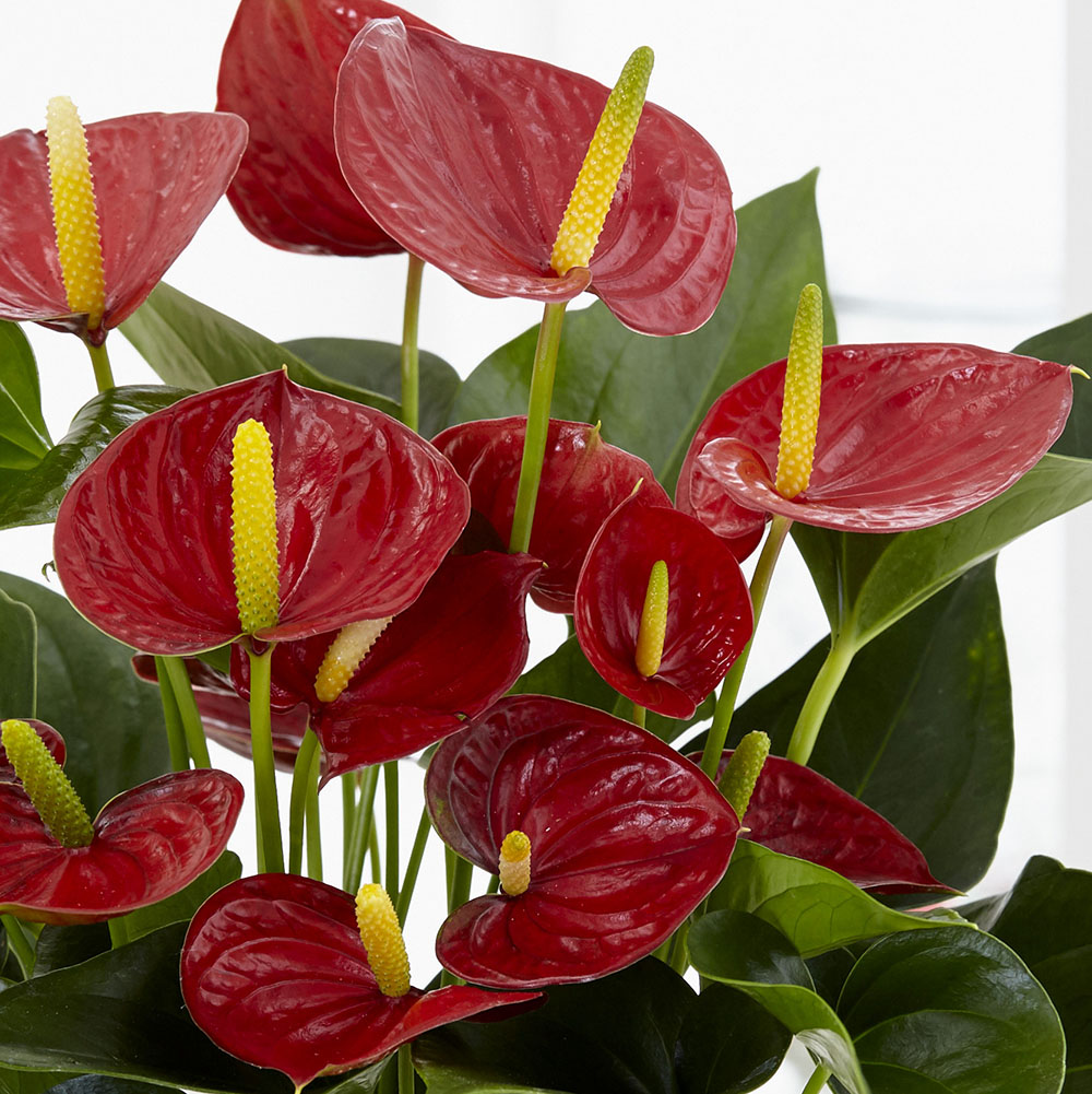 flamingo flower