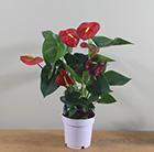 Anthurium Red Champion ('Anthbnena') (PBR)
