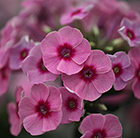 Phlox paniculata Early Pink Dark Eye