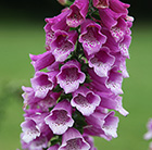 Digitalis purpurea Dalmatian Purple (Dalmatian Series)