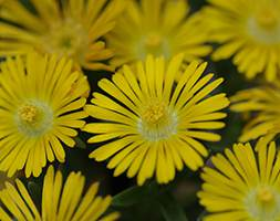 Delosperma Golden Wonder ('Wowd20111') (Wheels of Wonder Series) (PBR) (ice plant)