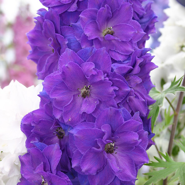 buy delphinium delphinium pagan purples new millennium series