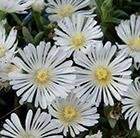 Delosperma White Wonder ('Wowdw7') (Wheels of Wonder Series) (PBR)