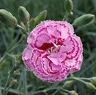 Dianthus Moulin Rouge