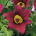 Pulsatilla vulgaris Pinwheel Dark Red Shades (Pinwheel Series)
