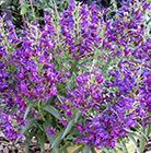 Penstemon Purple Perfection ('Pmoore14') (PBR)