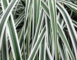 Click to view product details and reviews for Carex Oshimensis Everest Aposfiwhiteapos Pbr Sedge.