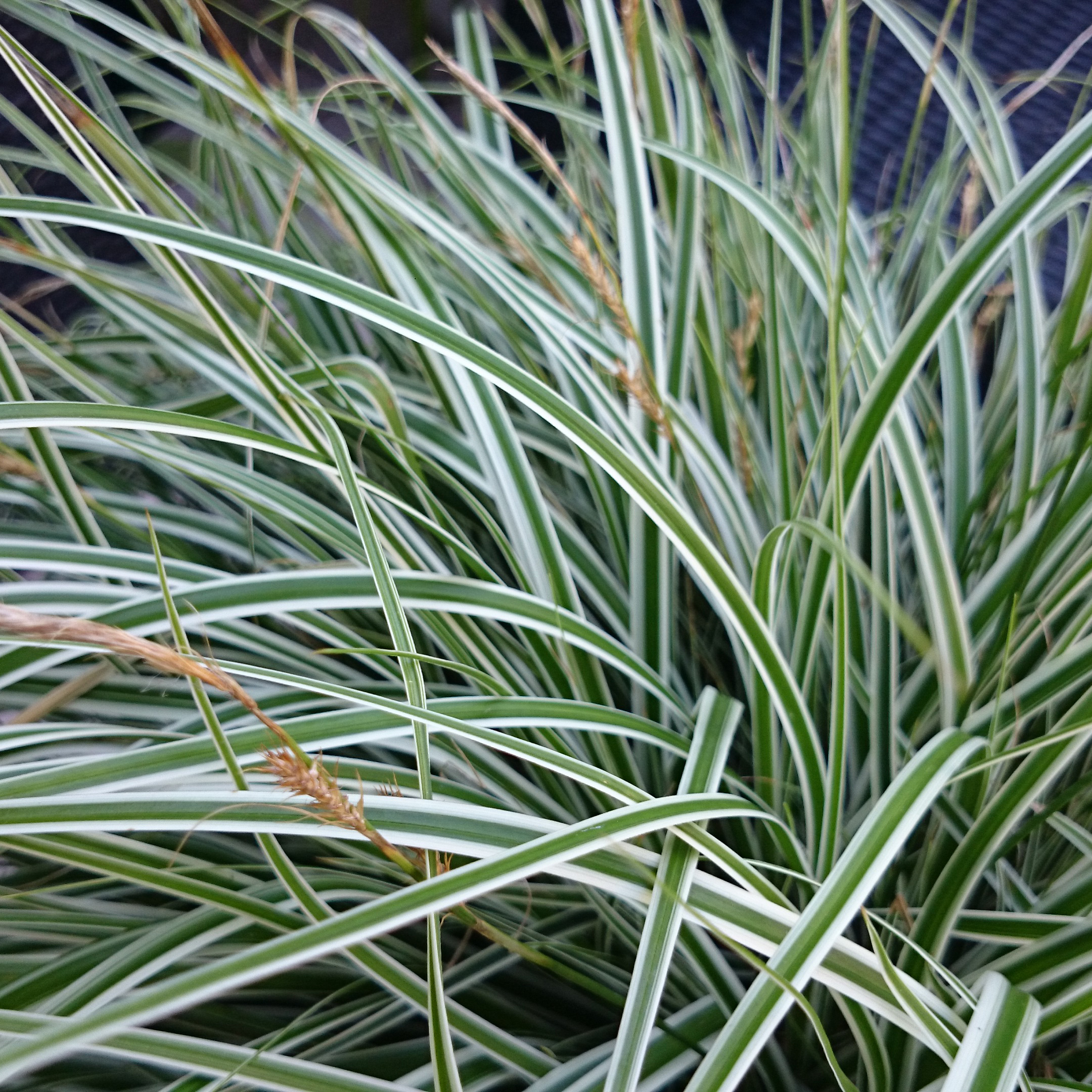 Red Shade Buy Sedge Carex Oshimensis Everest Fiwhite Pbr