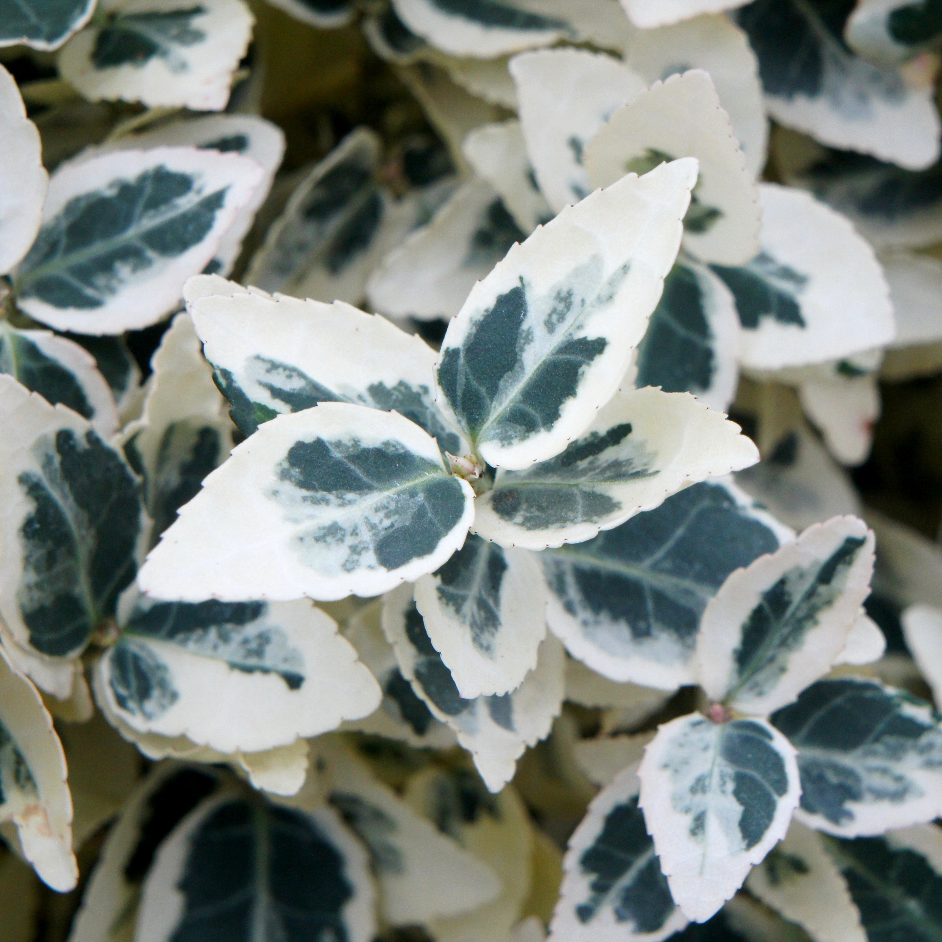 Click to view product details and reviews for Euonymus Fortunei Danaposs Delight Aposdandelapos Pbr Winter Creeper.