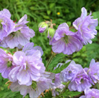 Geranium pratense Cloud Nine (PBR)