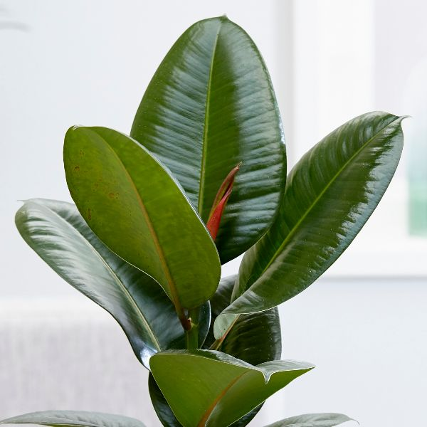 buy rubber plant ficus elastica 39 robusta 39 delivery by crocus. Black Bedroom Furniture Sets. Home Design Ideas