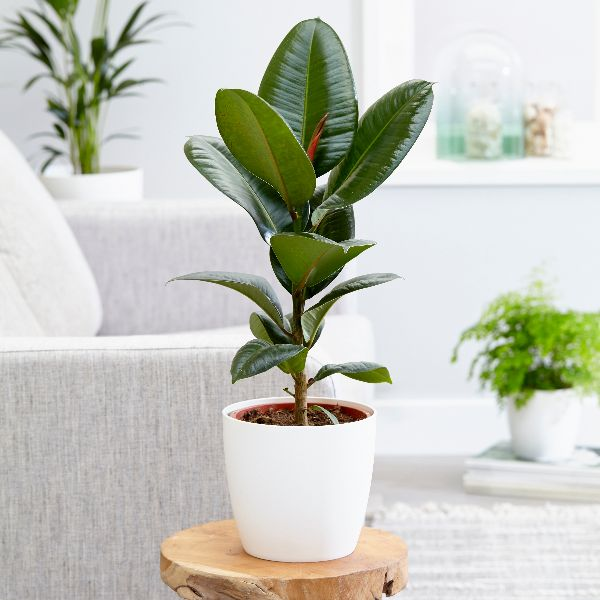 Buy rubber plant ficus elastica 39 robusta 39 delivery by crocus for Ficus elastica