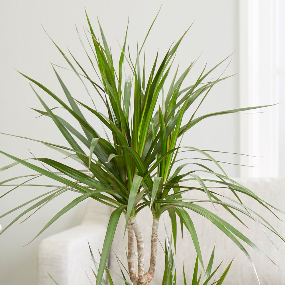 Buy dragon plant dracaena marginata delivery by crocus for Plante dracaena
