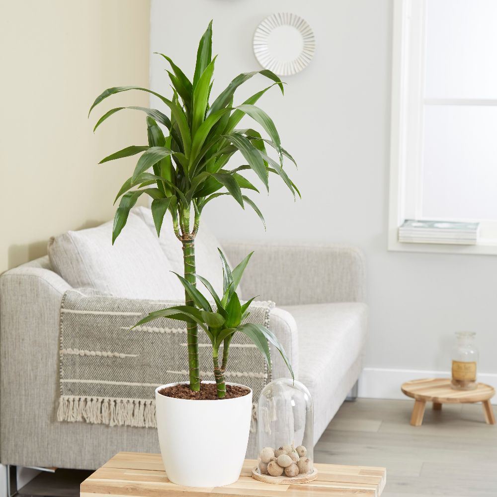 buy dragon tree dracaena fragrans 39 janet craig 39 delivery by crocus. Black Bedroom Furniture Sets. Home Design Ideas