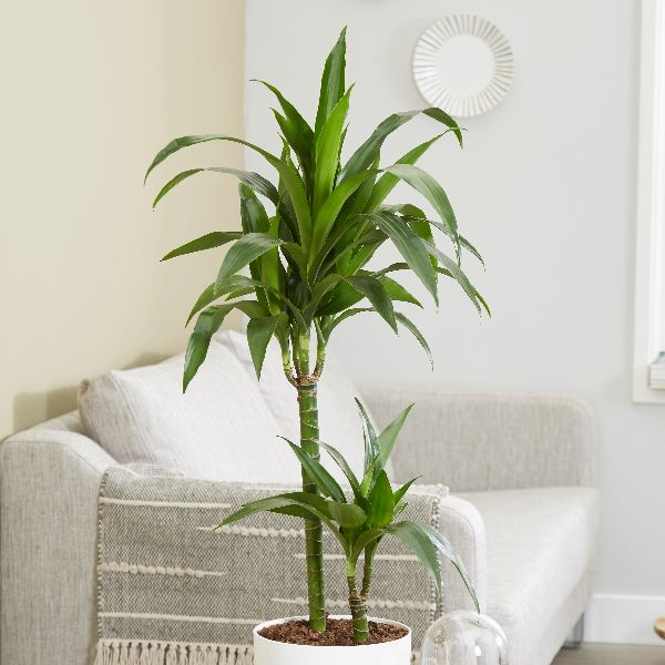 buy dragon tree dracaena fragrans 39 janet craig 39 delivery. Black Bedroom Furniture Sets. Home Design Ideas