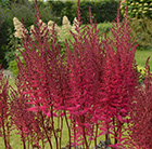 Astilbe Chocolate Cherry ('Mighty') (PBR)
