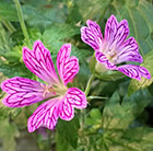 Geranium transversale Foundlings Friend