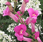 Antirrhinum Pretty in Pink ('Pmoore07') (PBR)
