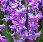Hyacinthus orientalis Purple Star