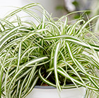 Carex oshimensis EverColor Everlite