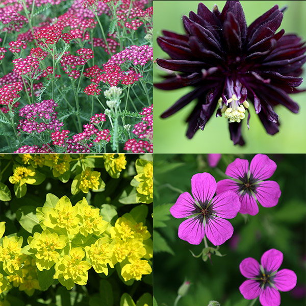 Buy low maintenance plant combination low maintenance for Low maintenance summer flowers