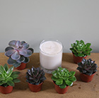 Echeveria starter collection