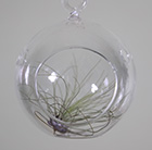 Air plant with a hanging glass globe