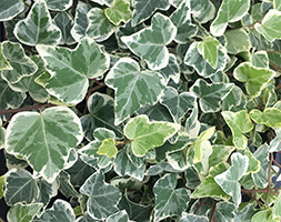 Click to view product details and reviews for Hedera Helix Aposwhite Wonderapos Variegated Ivy.