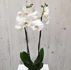 Phalaenopsis grandiflorum White World
