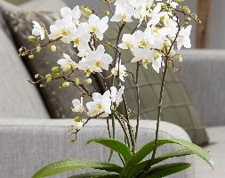 Image of Phalaenopsis 'White Willd Orchid' (moth orchid)