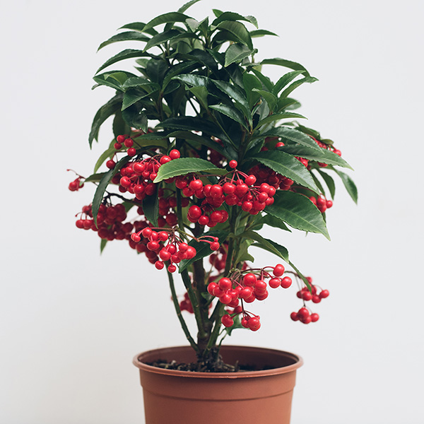 Buy Coral Berry Ardisia Crenata Bospremium Red Delivery