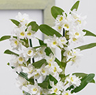 Dendrobium Spring Dream gx 'Apollon'