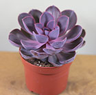 hen and chicks succulent (syn Perle von Nurnberg )