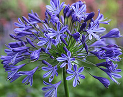 Agapanthus Headbourne Hybrids African Lily