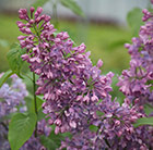 Syringa vulgaris Purple Shine